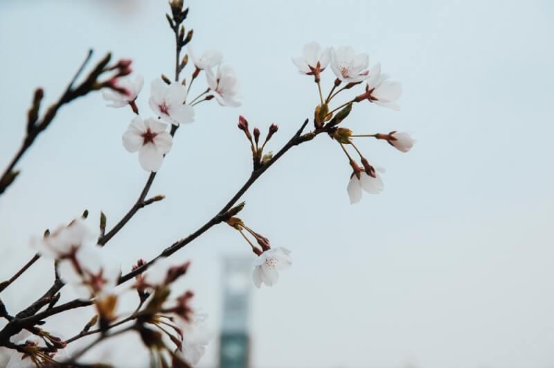 桜の樹の下には 梶井基次郎
